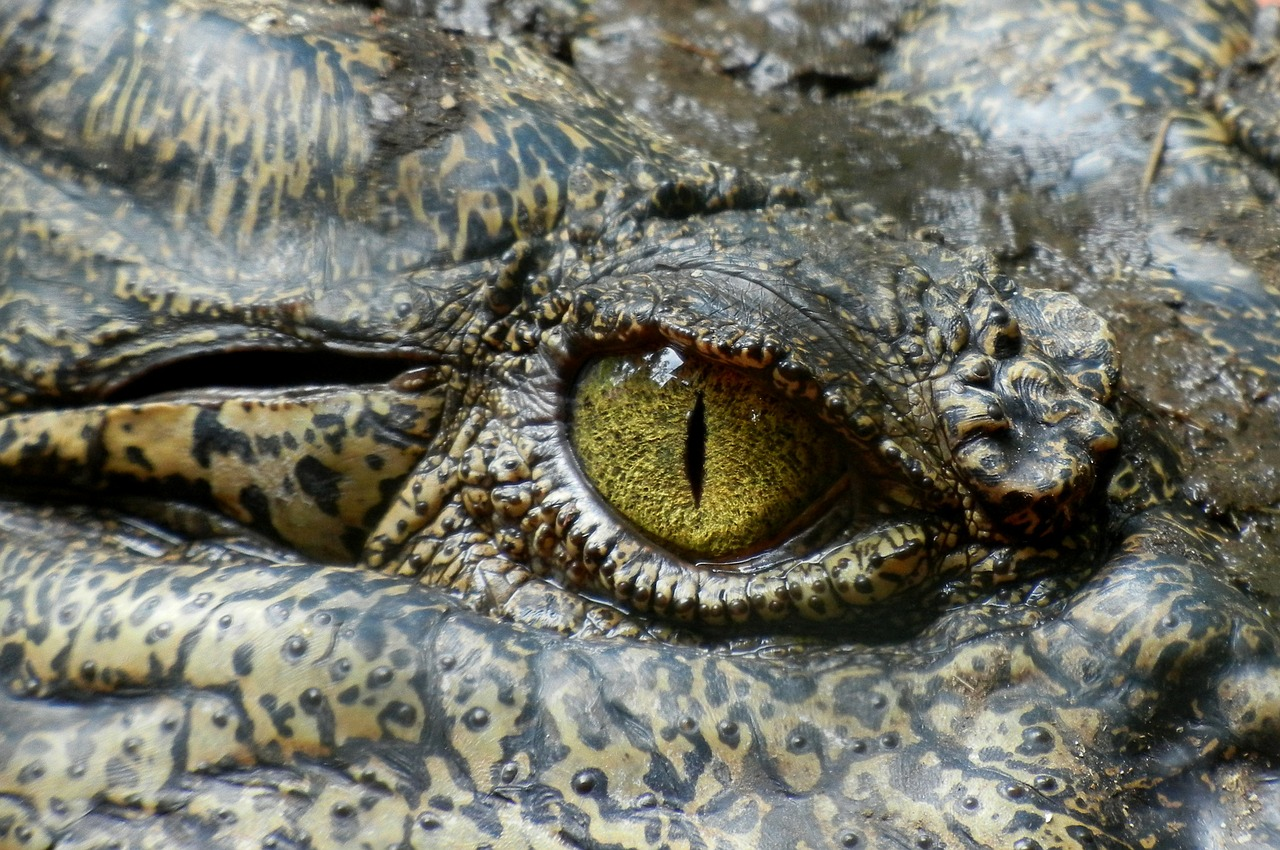 L'œil d'un crocodile