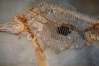 Squelette d'un ichtyosaure