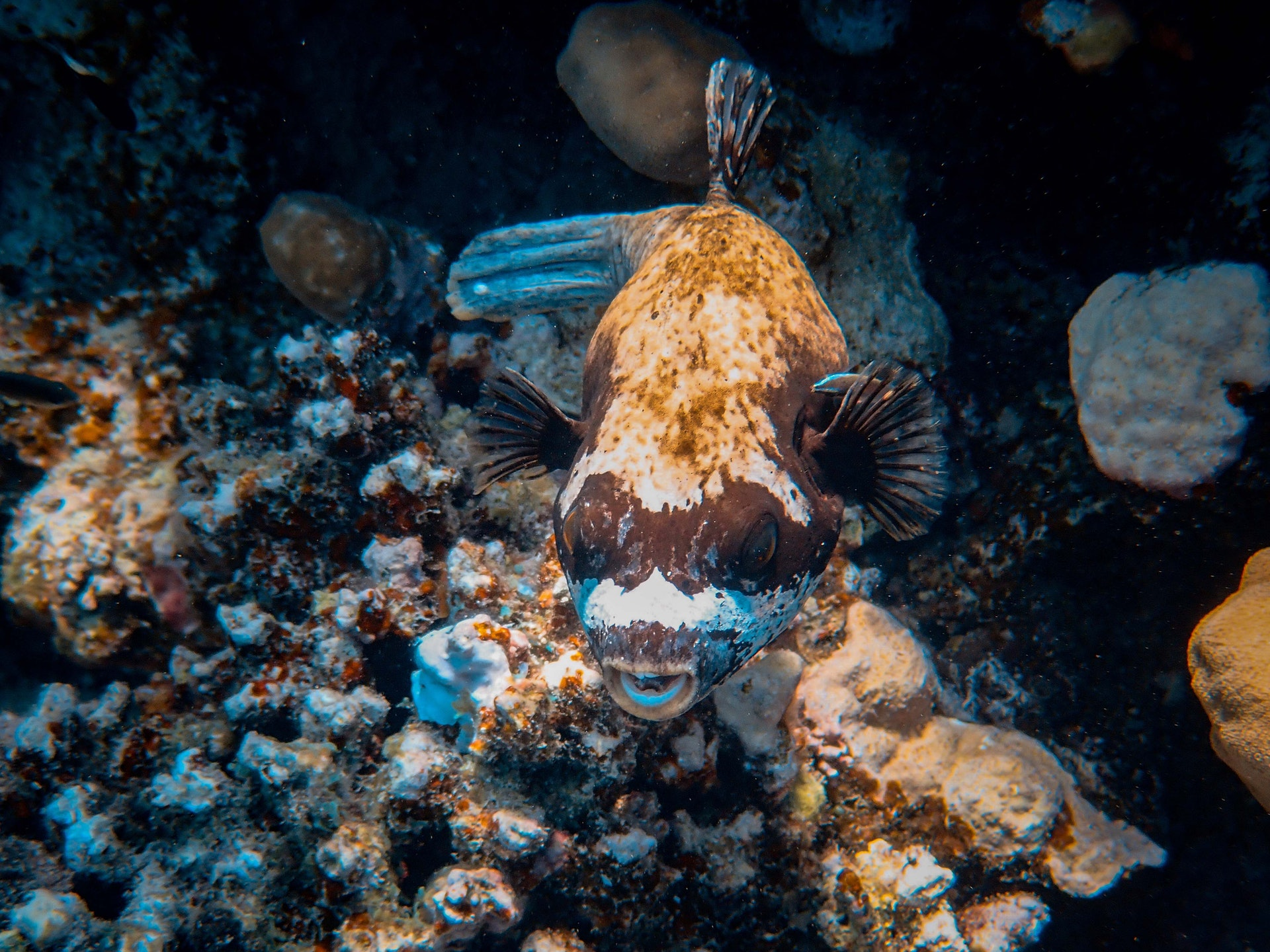 Un poisson globe