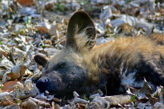 La tête d'un prédateur carnivore