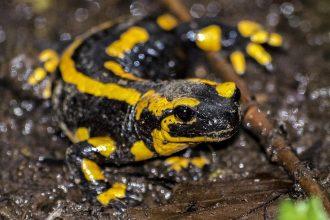 Photo d'une salamandre