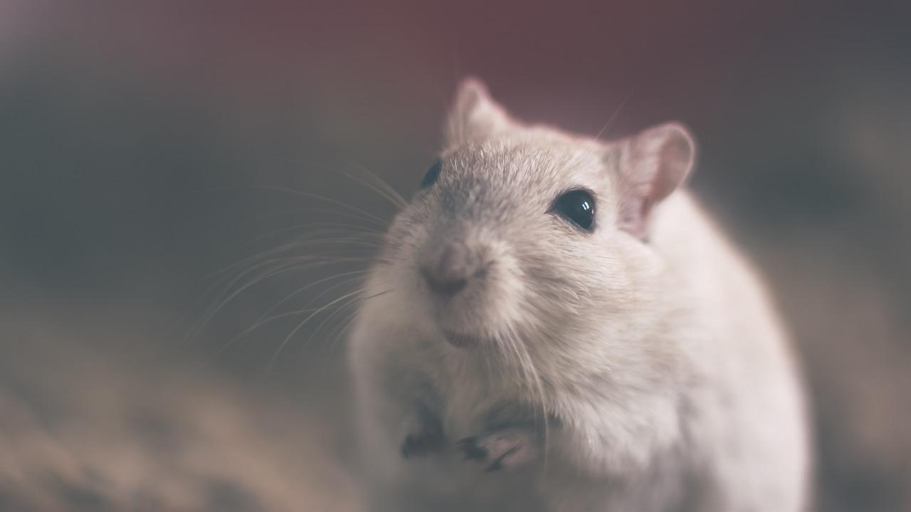 Photo d'une souris