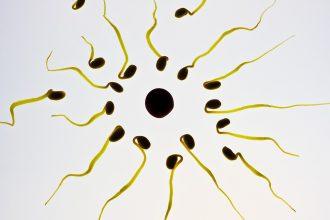 n ovule entouré de spermatozoides