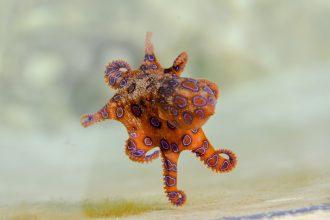 Une pieuvre nageant dans l'océan