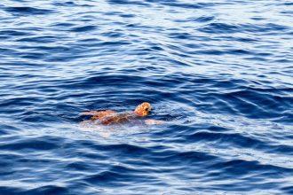 Un bébé tortue dans l'océan