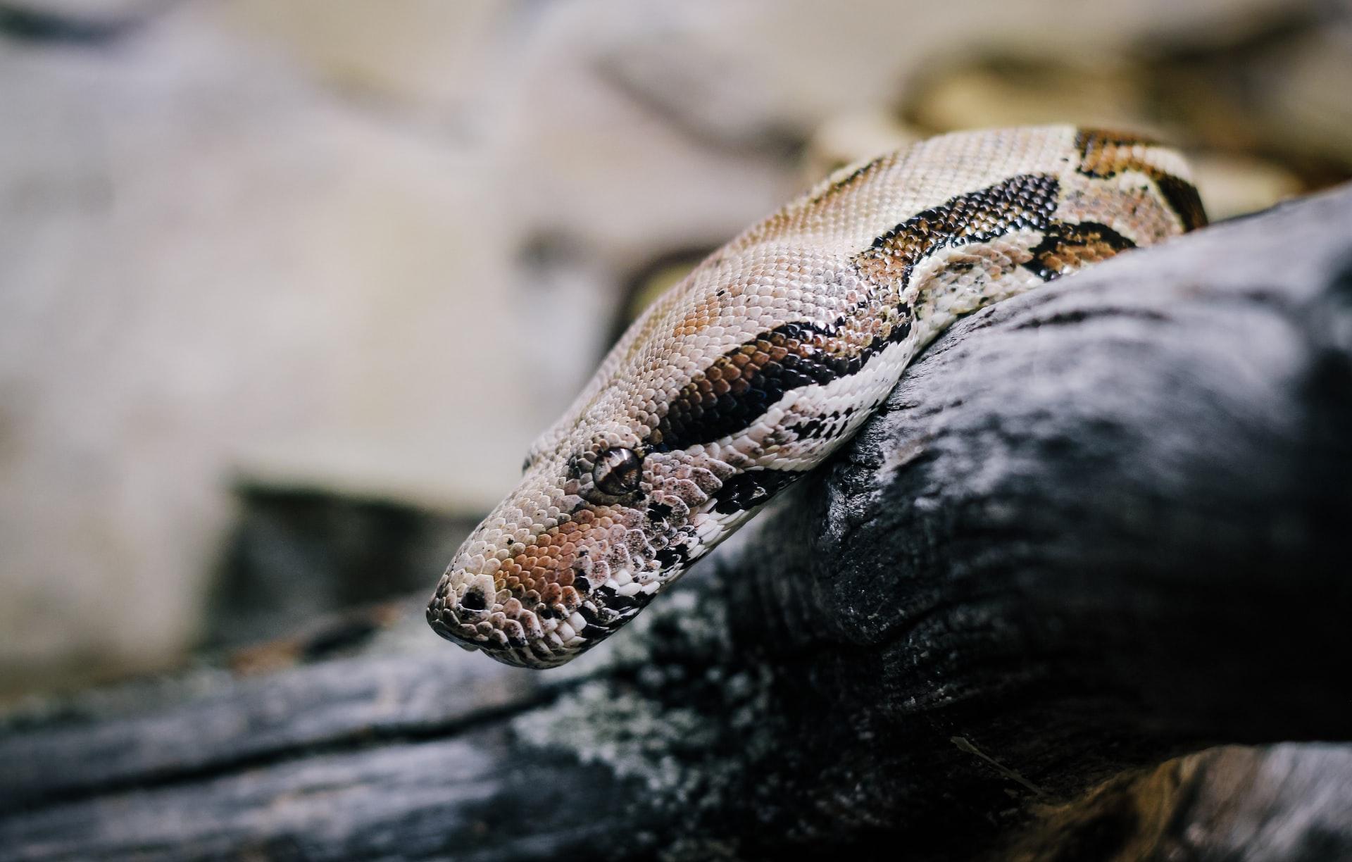 La tête d'un python