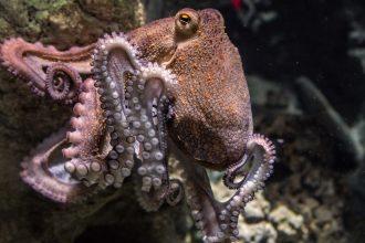 Une poulpe et ses tentacules munis de ventouses