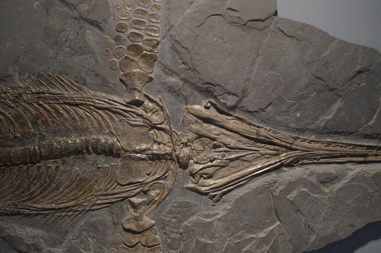 Un fossile d'ichthyosaure