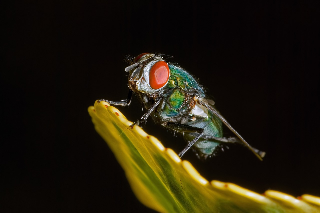 Une mouche bleue