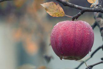 Une pomme accrochée à une branche