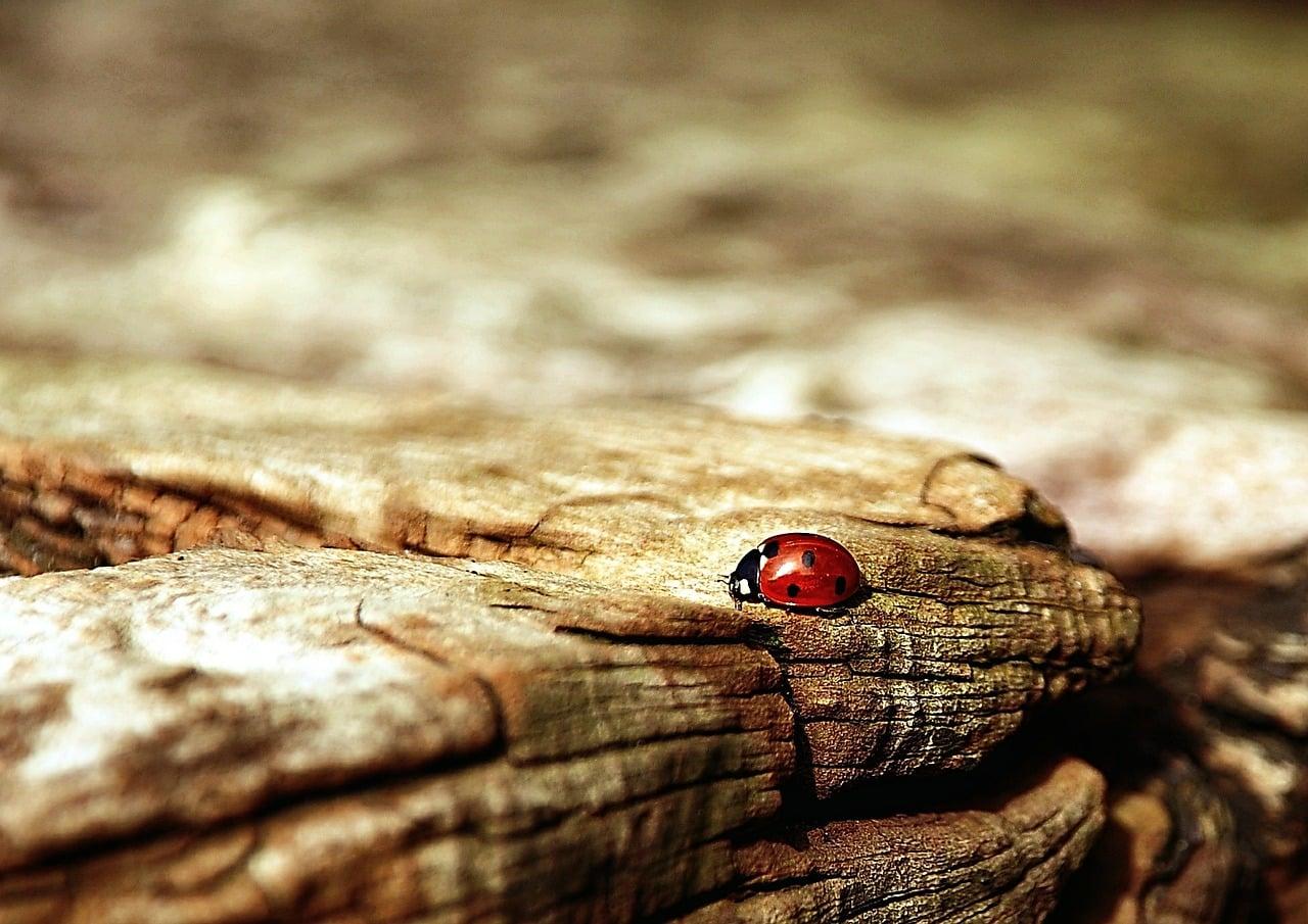 Une coccinelle sur un rocher