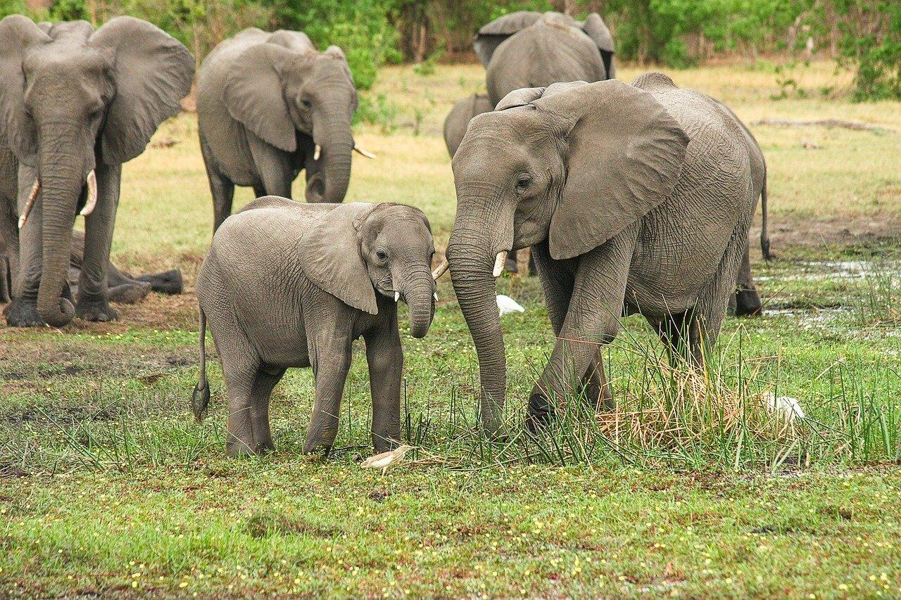 Des éléphants avec des éléphantaux