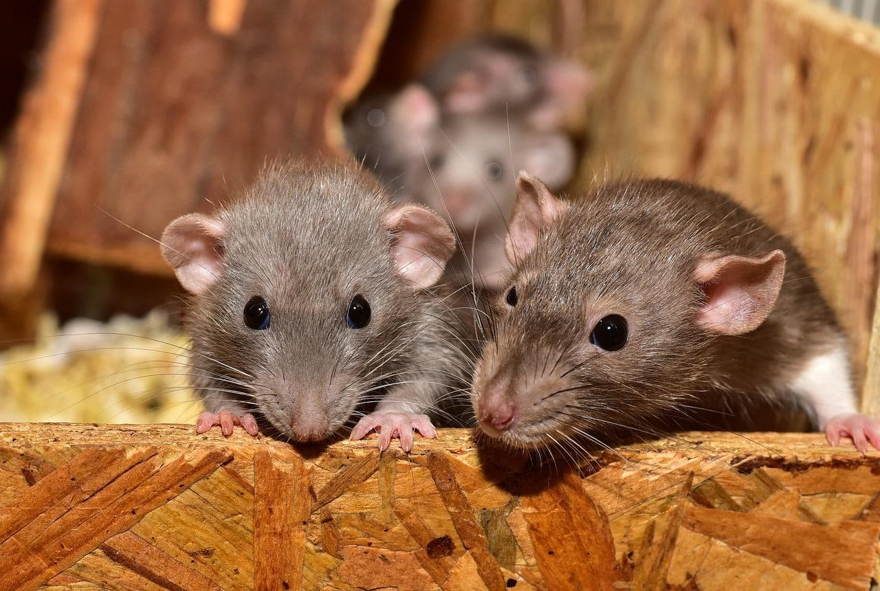 Des rates sur une botte de foin