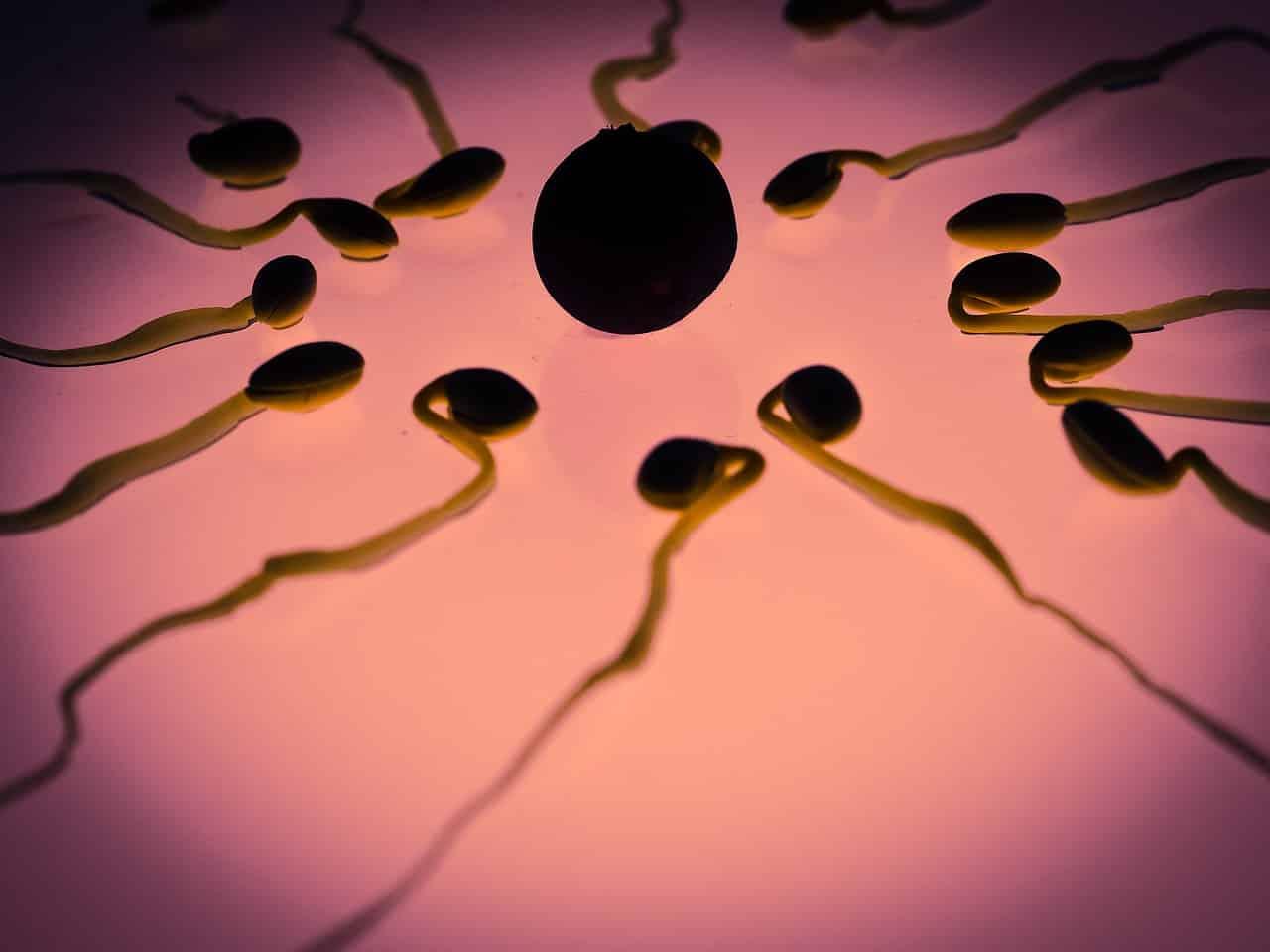 Des spermatozoïdes autour d'un ovule