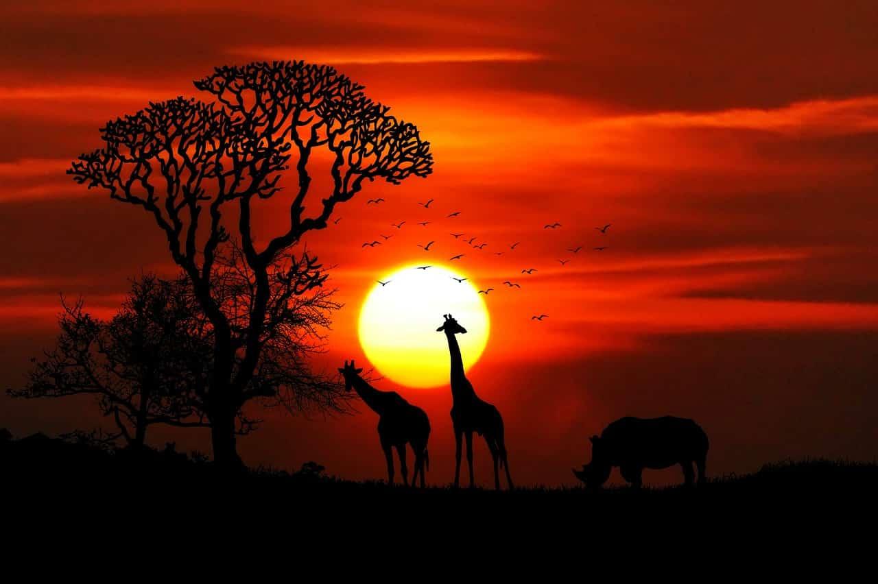 Des girafes devant un coucher de soleil au-dessus de la Savane