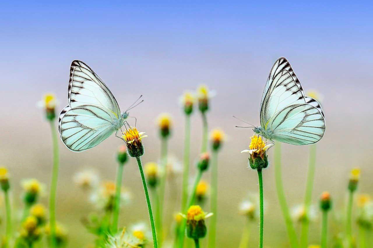 Deux papillons se faisant face