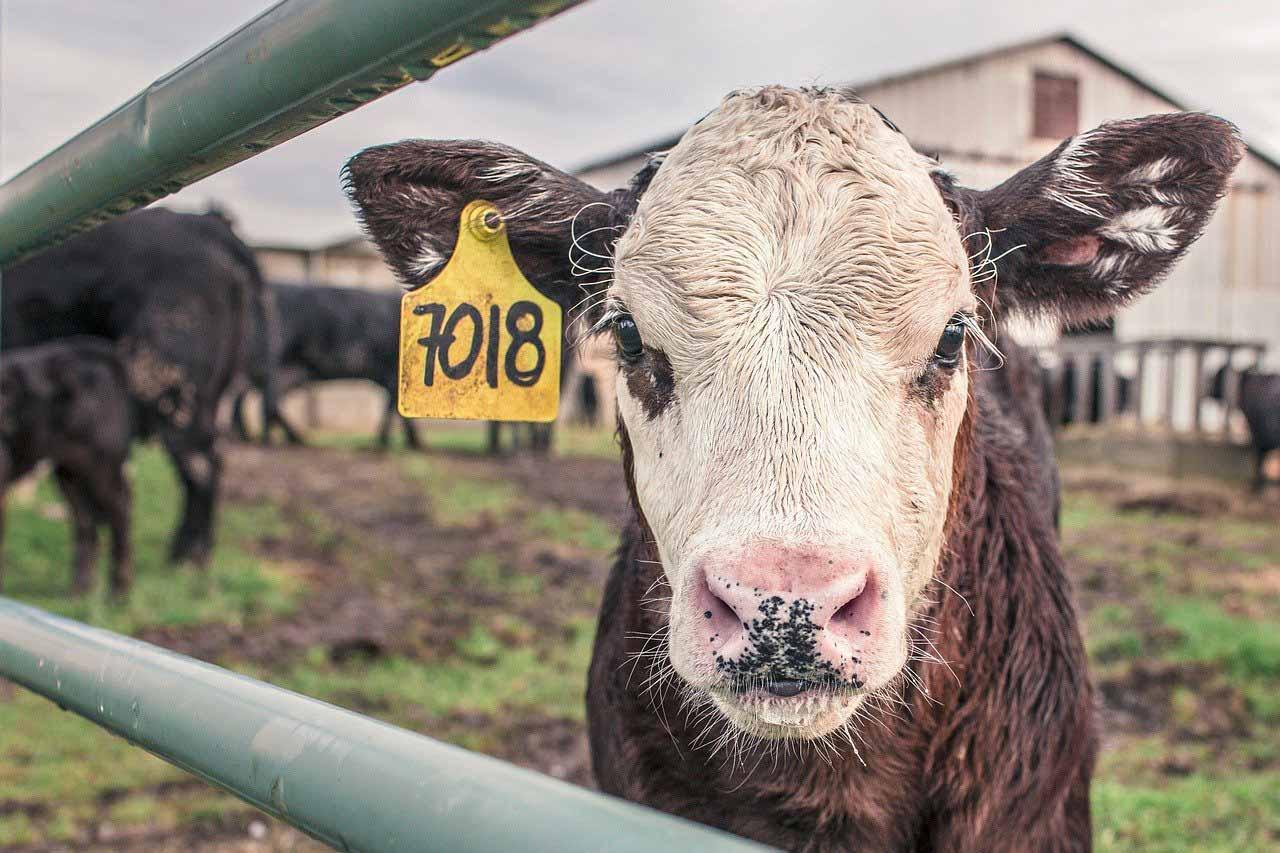 Une vache derrière une barrière