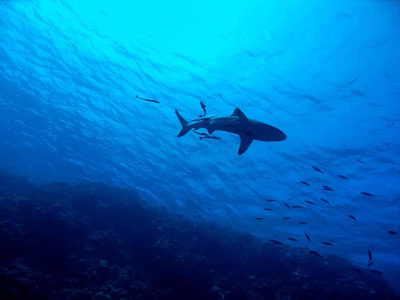Un requin nageant en eaux profondes
