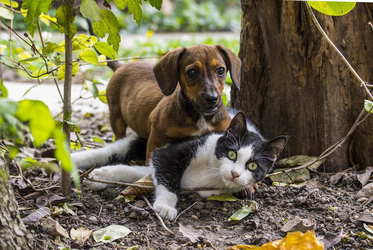Covid-19 : les chats plus exposés que les chiens