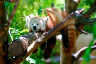 La photo d'un panda roux, la mascotte de Firefox