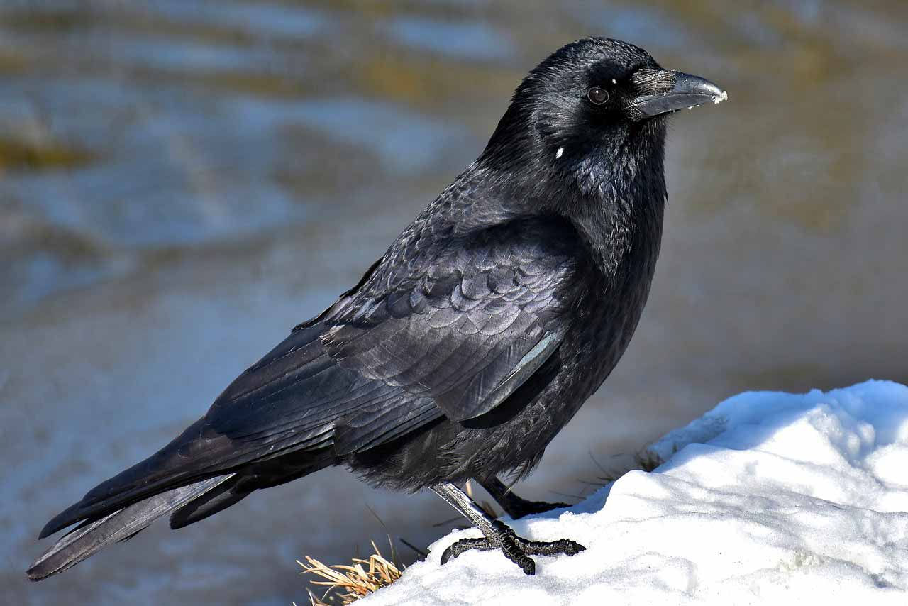 La photo d'un corbeau
