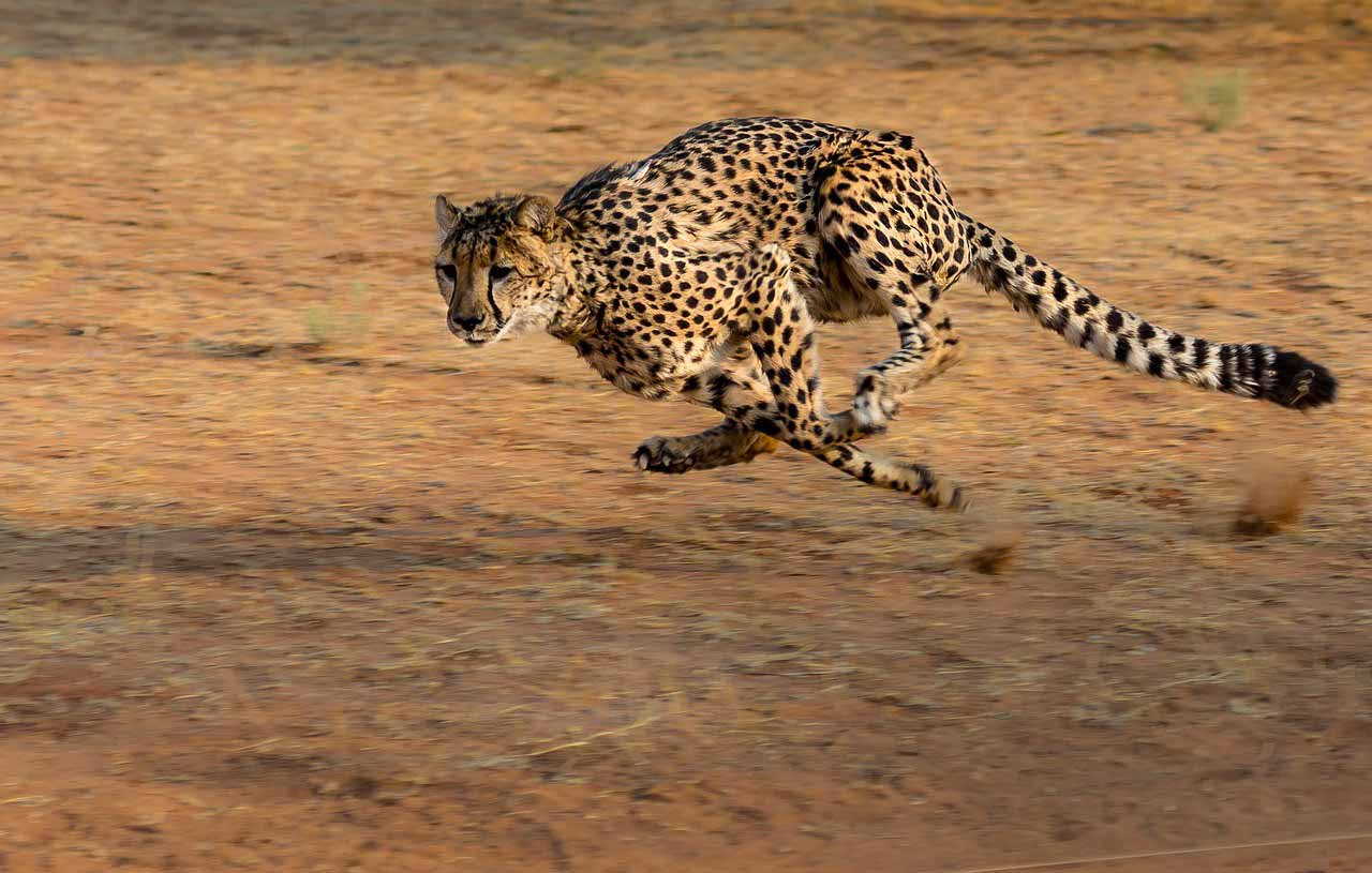 Un guépard en train de courir