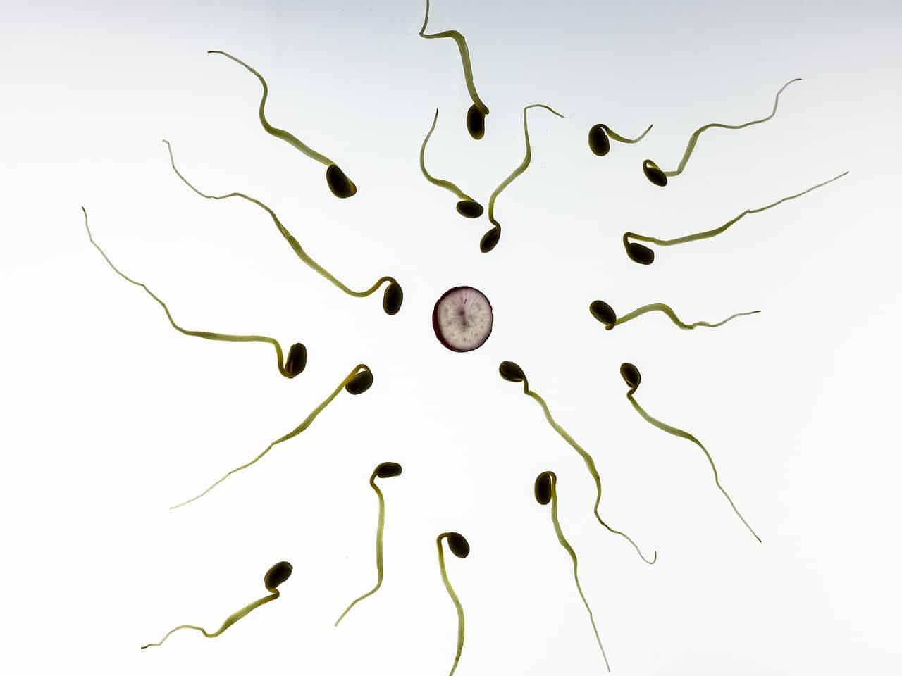 Des spermatozoïde autour d'un ovule