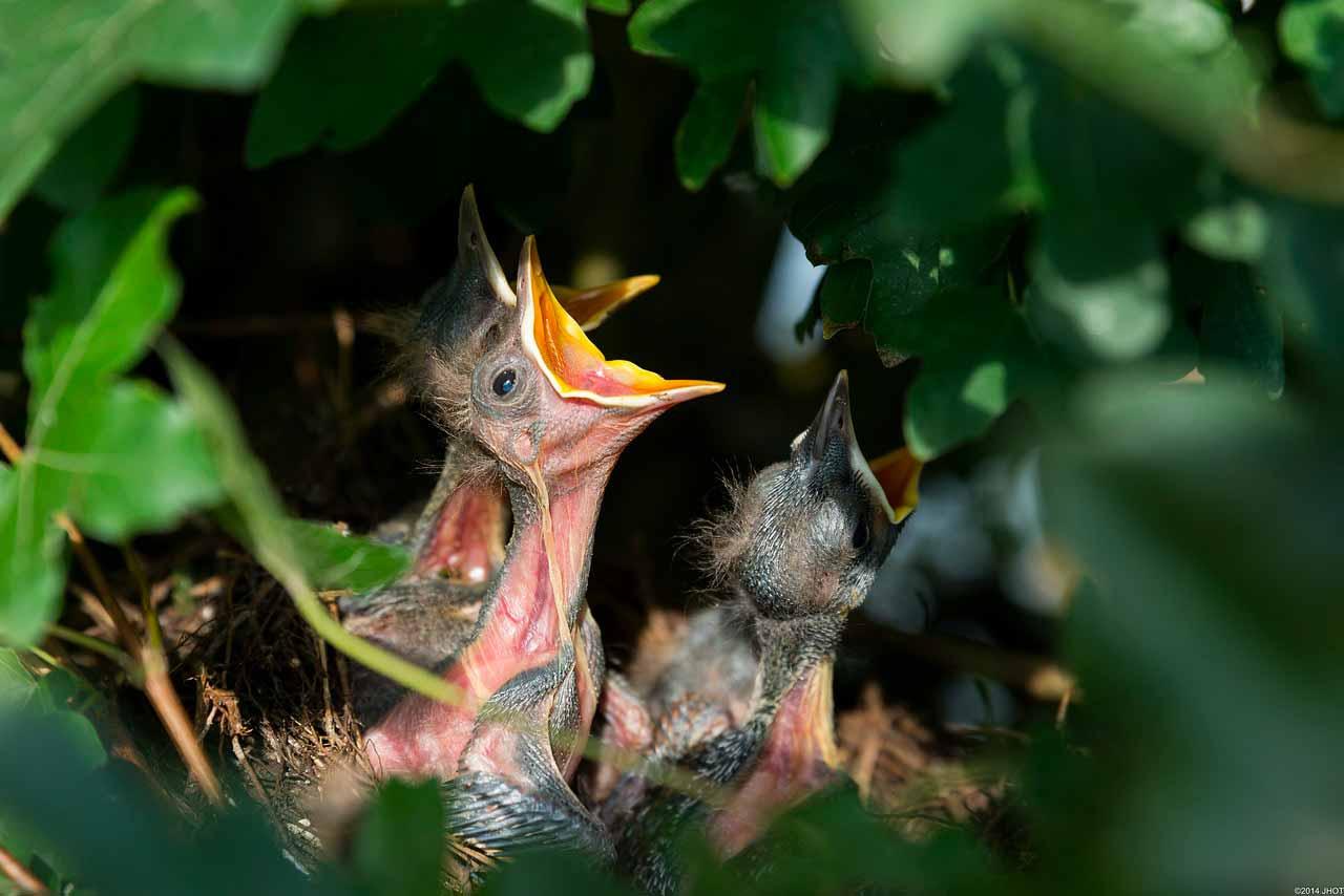 La photo d'un bébé oiseau