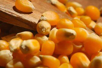 Du maïs près à devenir du popcorn