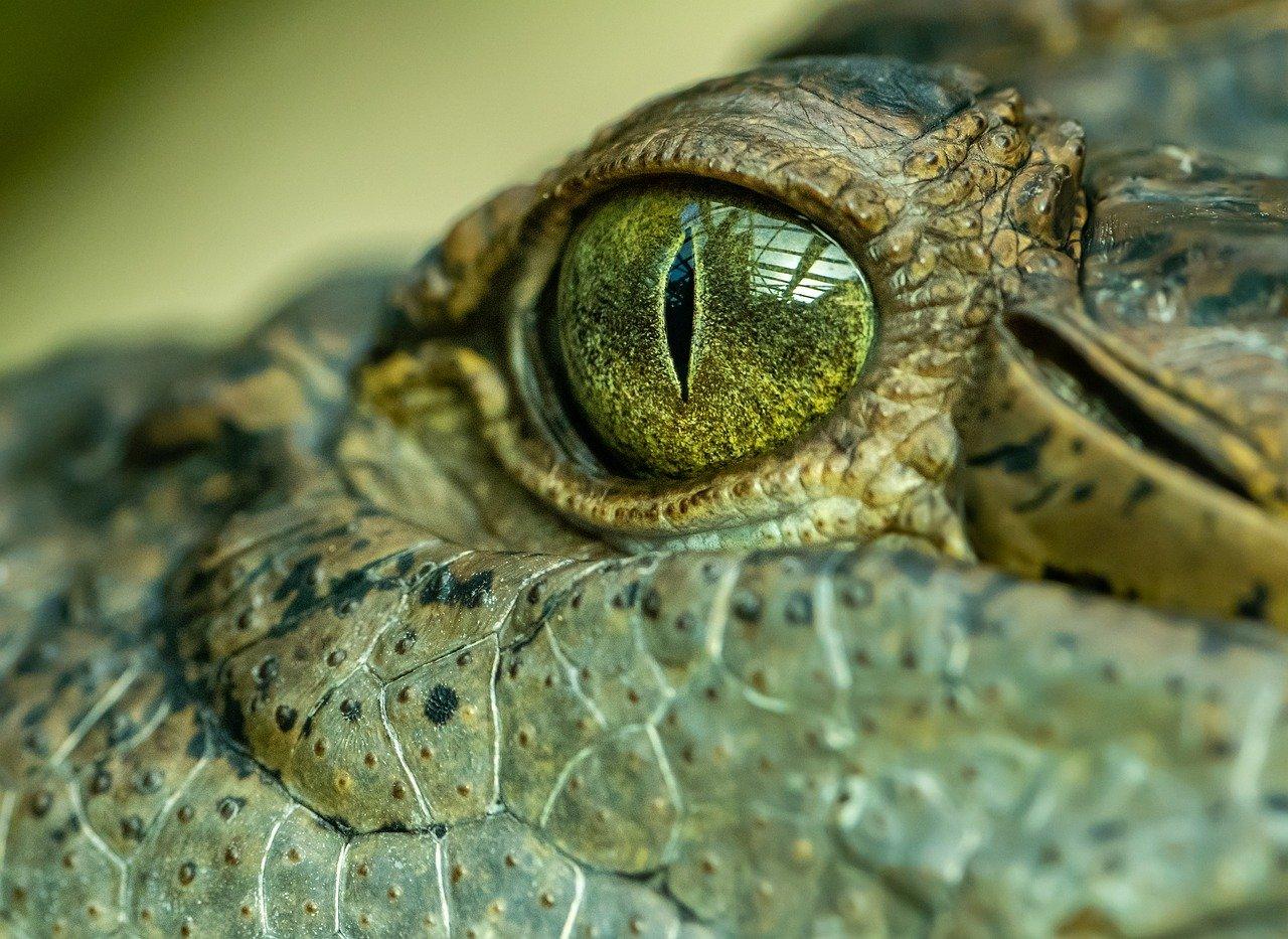 L'oeil d'un crocodile