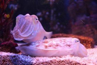 Une seiche dans un aquarium