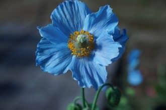 Une fleur bleue