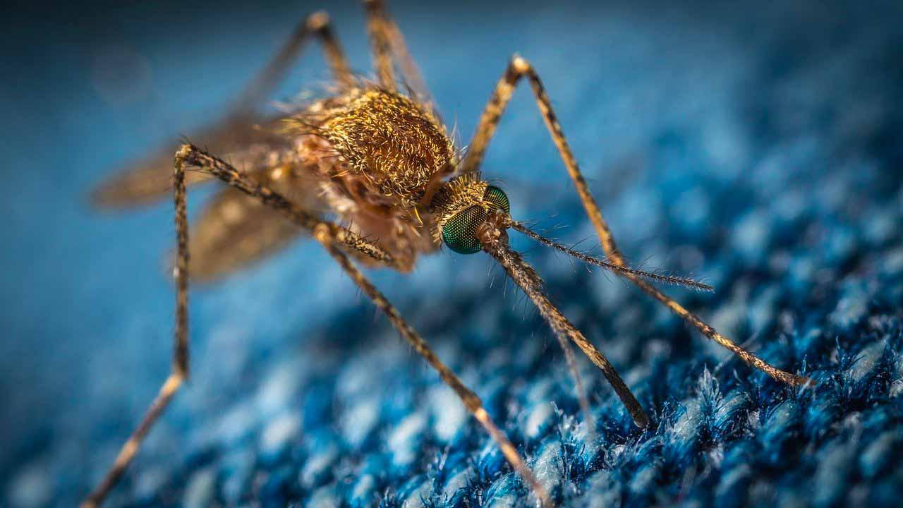 La photo d'un moustique prise en macro