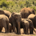 Troupeau d'éléphants sans défenses
